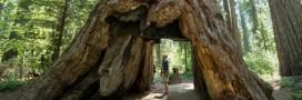 Un arbre millénaire s'effondre après une tempête en Californie