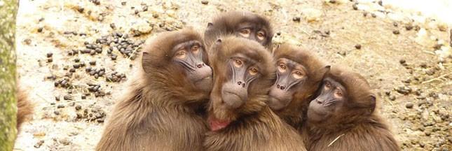 Les singes, une espèce à l'avenir incertain?