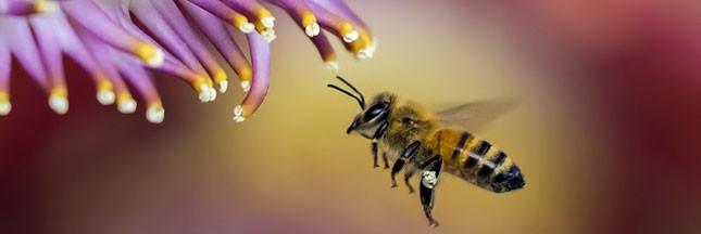 Le fipronil décime des milliers d'abeilles