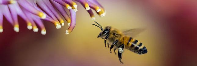 Le virus de 'l'aile déformée' s'attaque aux abeilles