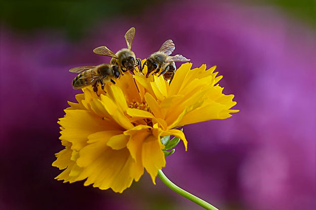 abeilles-ailes-virus