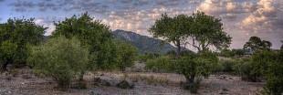 Une bactérie tueuse d'arbres sévit aux Baléares