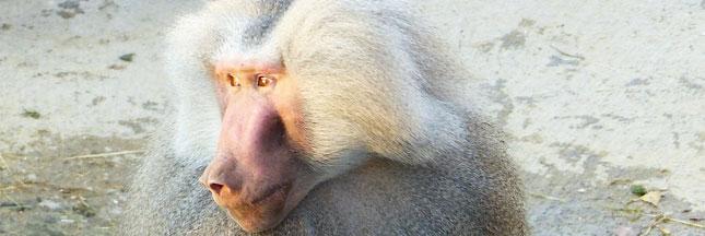 30 Millions d'Amis sauve deux babouins hamadryas