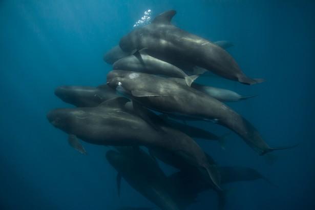 baleines échouées, globicéphales