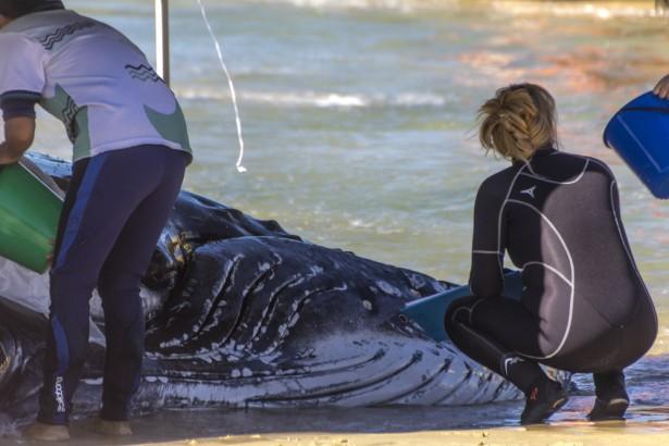 Efforts pour sauver une baleine échouée à Palm Beach en Australie © Shaun Robinson Shutterstock