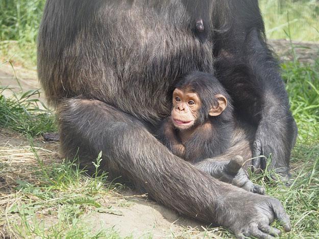 bebe-chimpanze-chasse