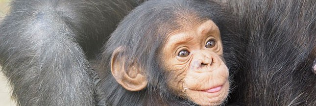 Les bébés chimpanzés ciblés par les trafiquants