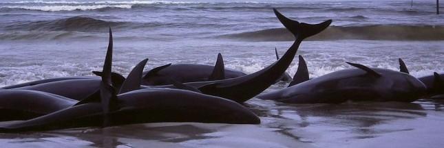 Baleines échouées : pourquoi tant de cétacés finissent en masse sur les plages ?