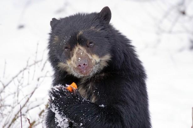 espèces d'ours