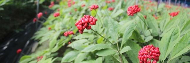 Culture, caractéristiques : pourquoi le ginseng coréen est un Ginseng Premium ?