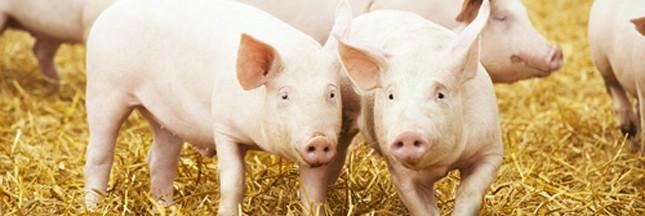 Fleury-Michon veut mettre ses porcs au bio