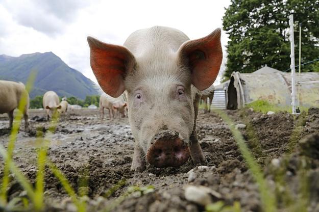 porc-fleury-michon-bio