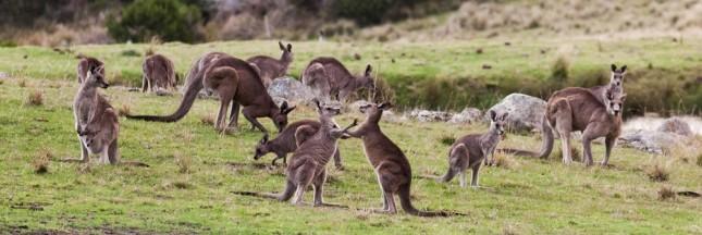 L'Australie va-t-elle abattre 1 million de kangourous?