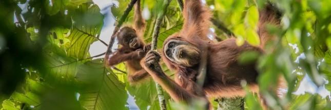 Des orangs-outans accueillent Ségolène Royal au Salon de l'agriculture