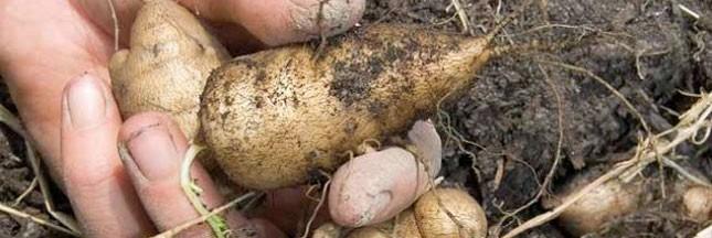 Racines comestibles: plantez des légumes tubéreux
