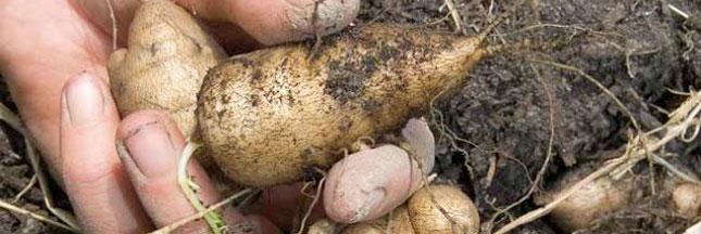 Racines comestibles : plantez des légumes tubéreux