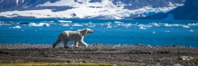 L'ours blanc broie du noir... et il a vraiment de quoi !