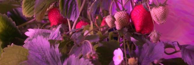 Agricool: des fraises locales 0% pesticides, 100% goût (reportage vidéo)
