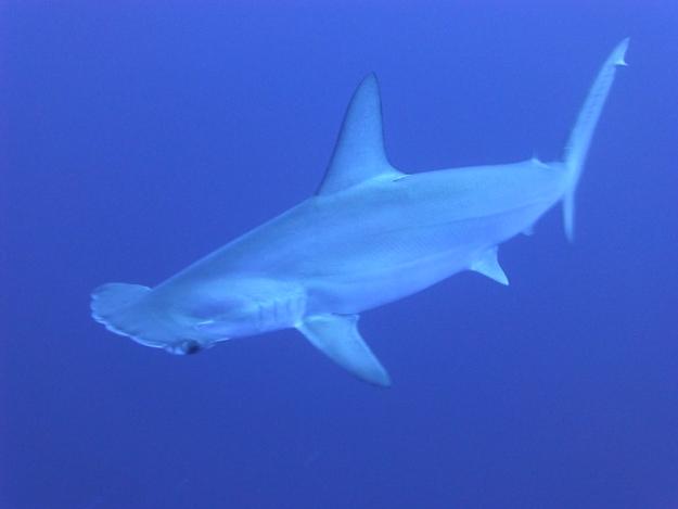 ailerons-requins-marteaux