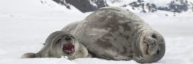 Chasse aux phoques: le massacre a commencé