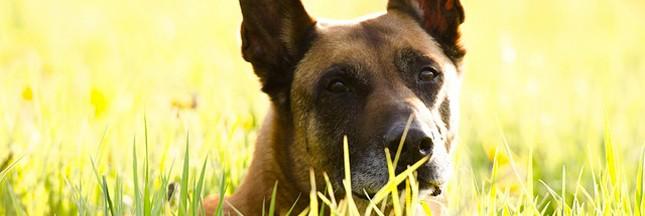 Des chiens pour diagnostiquer les cancers du sein?