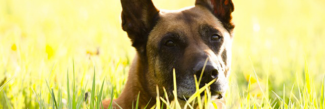 Des chiens pour diagnostiquer les cancers du sein ?