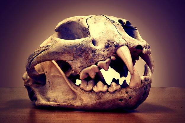 corps-lion-squelette