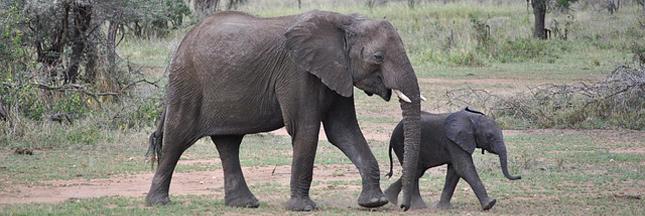 Commerce de l'ivoire : le Parlement européen demande son interdiction totale