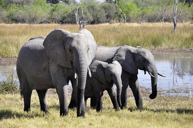 commerce de l'ivoire, éléphants