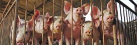 Nouvelle vidéo choc dans un élevage porcin en Bretagne