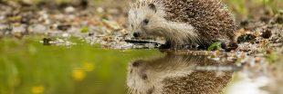 Le hérisson, un formidable indice de la dégradation de la biodiversité