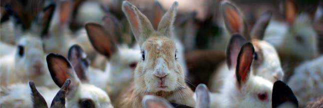 Élevage : vers la fin des lapins en cage