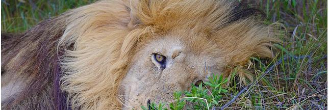 Légiférer pour encadrer l'exportation de squelettes de lions