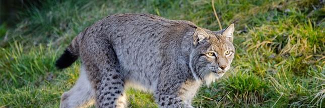 Faut-il réintroduire le lynx en Dordogne?