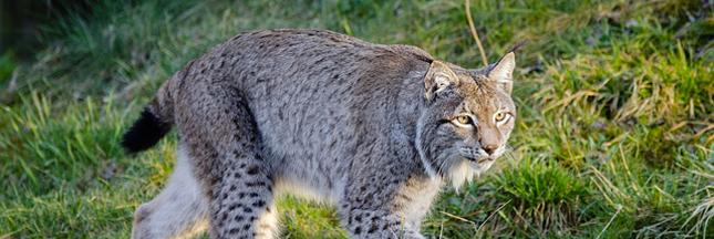 Faut-il réintroduire le lynx en Dordogne ?