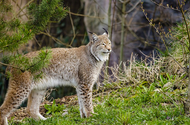 lynx-sanglier-foret