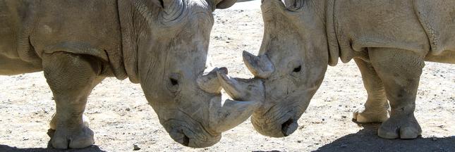 Ardèche: écorner les rhinocéros du zoo pour les sauver des braconniers