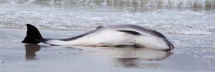 800 dauphins se sont échoués sur la côte Atlantique en 3 mois