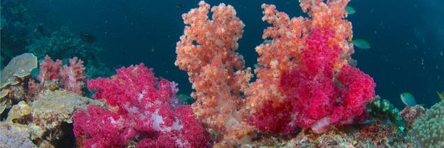 Indonésie : des récifs coraliens gravement endommagés
