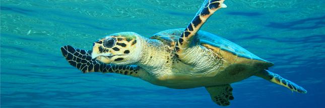 En Thaïlande, la tortue Tirelire est morte
