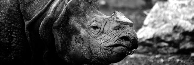 Dans un zoo tchèque, on coupe les cornes des rhinocéros pour les sauver