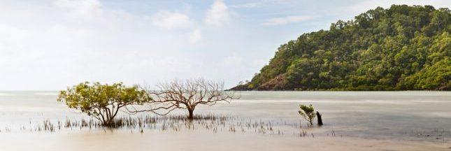 La mangrove australienne est en train de mourir