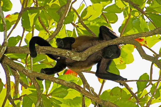 singe-fievre-jaune