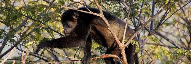 Brésil: les singes décimés par la fièvre jaune