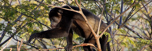 Brésil : les singes décimés par la fièvre jaune