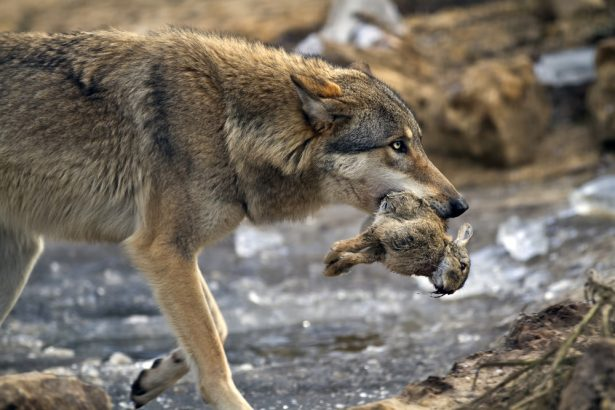 abattre plus de loups