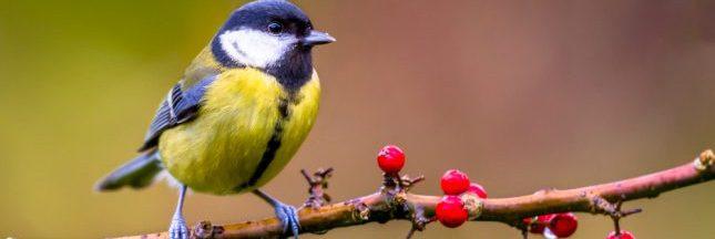 Aidez les oiseaux en plantant une haie d'arbustes
