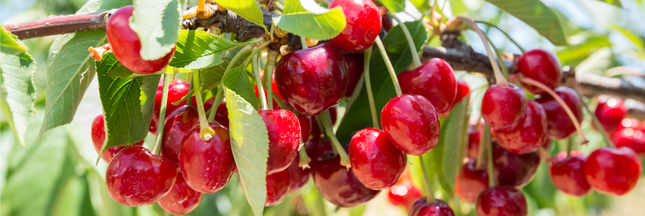 La France interdit l'importation de cerises traitées au diméthoate