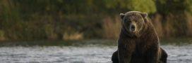Chasse en Alaska: les citoyens dénoncent une décision cruelle et gratuite