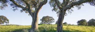 Les chênes risquent de disparaître en France